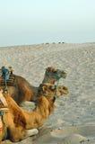 Camellos en la luz de la puesta del sol Imágenes de archivo libres de regalías