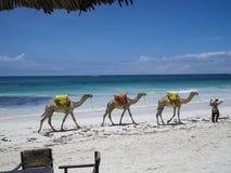Camellos en la playa de Diani imagenes de archivo