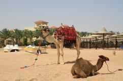 Camellos en la playa egipcia Foto de archivo libre de regalías