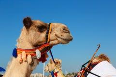Camellos en la playa en el puerto deportivo de Dubai Imagen de archivo libre de regalías