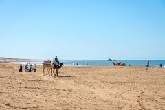 Camellos en la playa en Essaouira Fotografía de archivo