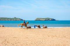 Camellos en la playa en Essaouira Foto de archivo