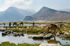 Camellos en la playa, Omán Fotografía de archivo