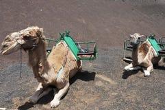 Camellos en Lanzarote Imágenes de archivo libres de regalías