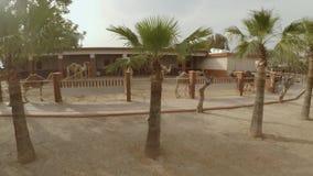 Camellos en parque del camello almacen de video