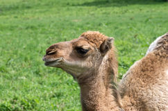 Camellos en pasto Fotografía de archivo