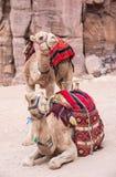 Camellos en Petra Jordan foto de archivo
