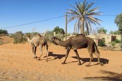 Camellos en pueblo de desierto Fotos de archivo libres de regalías