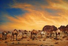 Camellos en ron del lecho de un río seco Fotografía de archivo