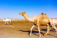 Camellos en Sudán Imágenes de archivo libres de regalías