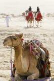 Camellos en un desierto árabe fotografía de archivo libre de regalías