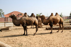 Camellos en un parque Foto de archivo libre de regalías