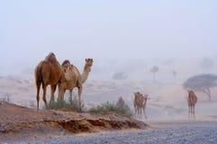 Camellos en una carretera del desierto Imagenes de archivo