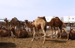 Camellos en una pluma en Doha Fotografía de archivo