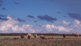 Camellos hermosos Fotografía de archivo