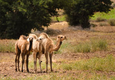 3 camellos juveniles Fotografía de archivo libre de regalías