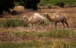2 camellos juveniles Foto de archivo