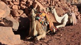 Camellos. Monte Sinaí. Egipto almacen de metraje de vídeo
