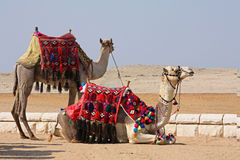 Camellos, naves del desierto - Giza, Egipto Imágenes de archivo libres de regalías