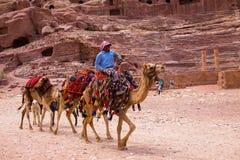 Camellos Petra Jordan Fotos de archivo libres de regalías