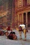 Camellos, Petra, Jordania Imagenes de archivo