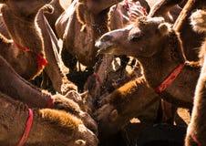 Camellos que beben en un oasis en masa fotografía de archivo libre de regalías