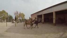 Camellos que caminan en parque almacen de metraje de vídeo