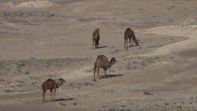 Camellos que caminan en un desierto en Uzbekistán almacen de video