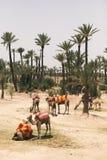 Camellos que descansan al lado de las palmeras en Marrakesh, Marruecos fotografía de archivo