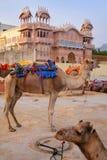 Camellos que descansan cerca del hombre Sagar Lake en Jaipur, la India Fotografía de archivo libre de regalías