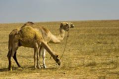 Camellos que pastan Foto de archivo libre de regalías