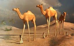 Camellos que recorren Imagenes de archivo