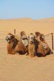 Camellos que se reclinan en desierto Foto de archivo libre de regalías