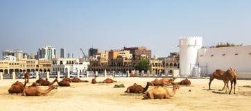 Camellos que se reclinan en Doha central Foto de archivo libre de regalías