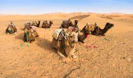 Camellos que se reclinan en el desierto Fotos de archivo