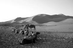 Camellos que se reclinan en un desierto en B/W Imágenes de archivo libres de regalías