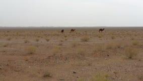 Camellos salvajes metrajes