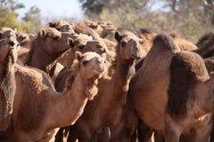 Camellos salvajes Imagenes de archivo