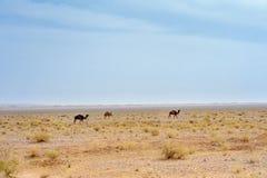 Camellos salvajes en el desierto imagenes de archivo