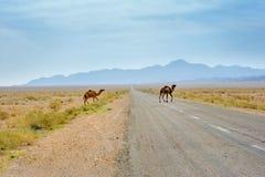 Camellos salvajes en el desierto fotografía de archivo