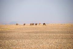 Camellos salvajes en Sáhara Fotografía de archivo libre de regalías