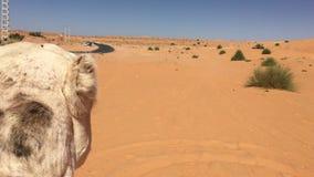 Camellos turísticos en el desierto Taghit almacen de metraje de vídeo