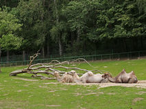Camellos Two-humped en un parque zoológico Fotos de archivo
