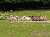 Camellos Two-humped en un parque zoológico Fotografía de archivo