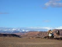 Camellos y dromedarios fotografía de archivo