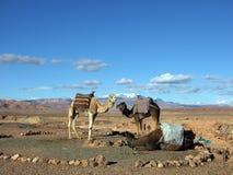 Camellos y dromedarios imágenes de archivo libres de regalías