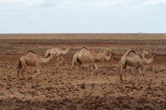 Camellos y dromedarios foto de archivo