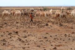 Camellos y dromedarios foto de archivo libre de regalías