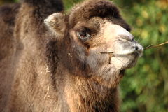Camelnose Royalty Free Stock Photography