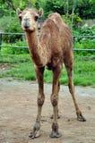 Camelo árabe Fotografia de Stock